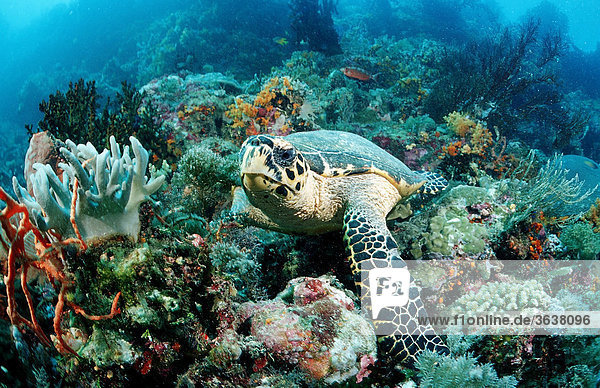 Hawksbill turtle (Eretmochelys imbricata)  Waktobi  Celebes Sea  Sulawesi  Indonesia