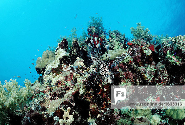 Red Lionfish (Pterois volitans) at coral reef  Red Sea  Sudan  Africa