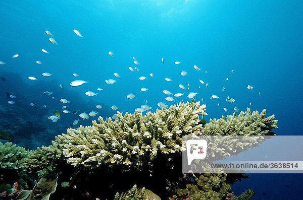 Green Chromis (Chromis viridis) on the coral reef  Indian Ocean  Maldives