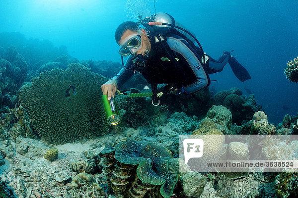 Taucher und Große Mördermuschel (Tridacna squamosa)  Indischer Ozean  Malediven