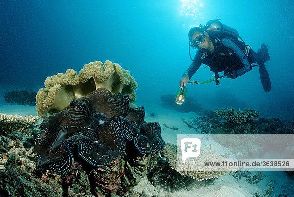 Große Mördermuschel (Tridacna squamosa) und Taucher  Indischer Ozean  Malediven