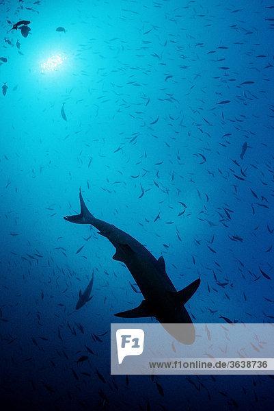 Grauer Riffhai (Carcharhinus amblyrhynchos) in Gegenlicht  Malediven  Indischer Ozean
