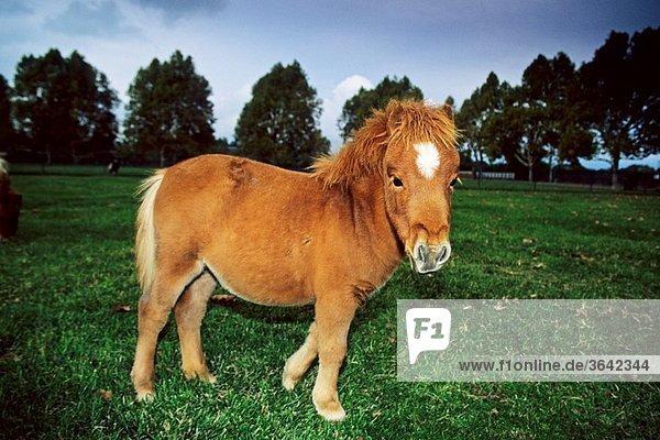 Miniature Horses at Quicksilver Ranch  Los Olivos  Santa Barbara County  California