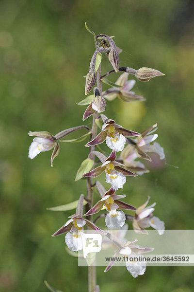 Sumpf-Stendelwurz (Epipactis palustris) auch Weiße Sumpfwurz oder Echte Sumpfwurz  Mala Fatra Nationalpark  Slowakei  Europa
