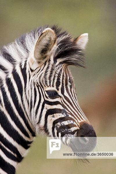 Steppenzebra (Equus quagga)  Portrait  Ithala Nationalpark  Südafrika  Afrika Equus quagga Steppenzebra