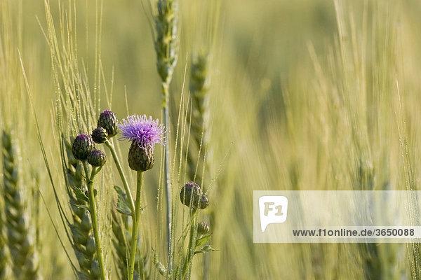 Distel in einem Weizenfeld
