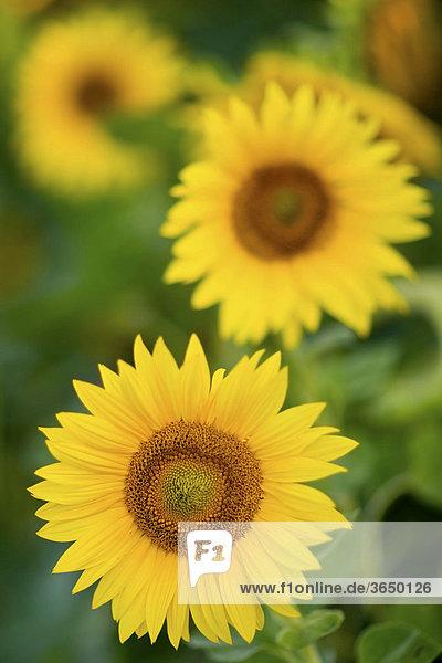 Sonnenblumen (Helianthus annuus)