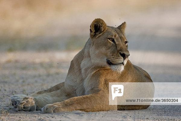 Löwin (Panthera leo)  Hwange Nationalpark  Simbabwe  Afrika