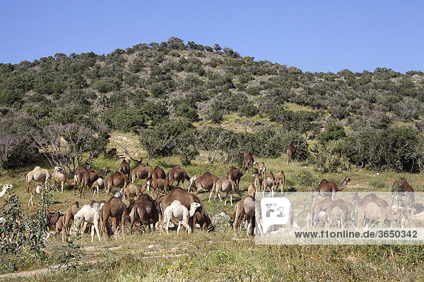 Dromedare (Camelus dromedarius)  Marokko