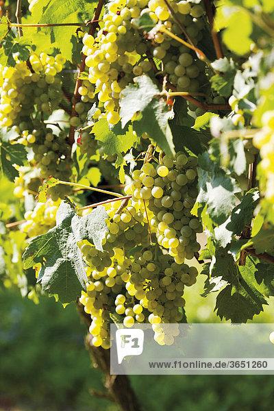 Rebstock mit Weinreben im Sonnenlicht