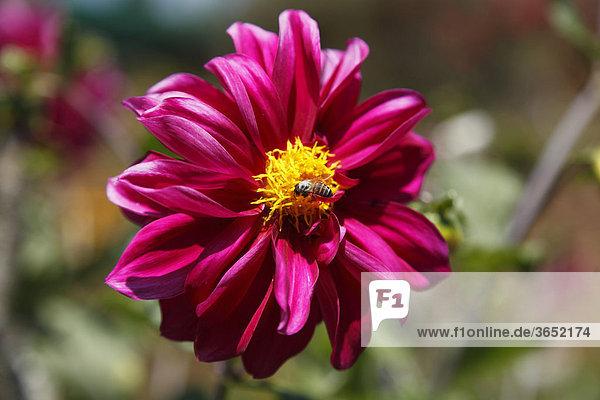Blüte einer Dahlie (Dahlia) mit Honigbiene  Kerala  Indien  Asien