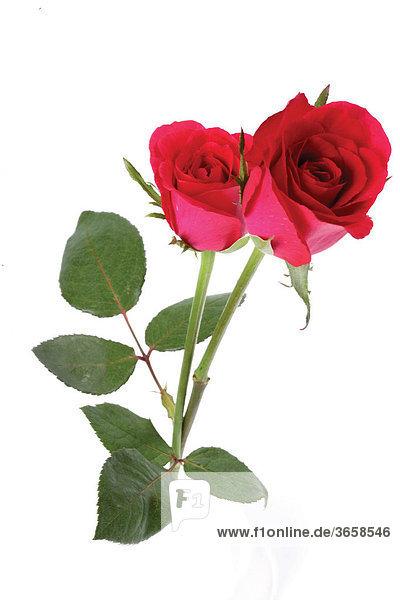 Rote Rosen (Rosa)