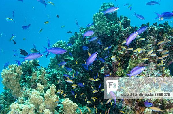 Coral reef  Chuuk  Truk Islands  Micronesia  Pacific Ocean