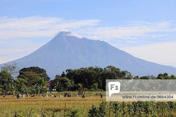 Indonesia  Java  Gunung Merapi volcano  farmers working in rice field