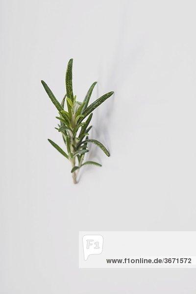 Nahaufnahme von einem Zweig Rosmarin