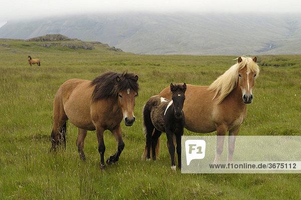 Islandpferde Südküste Island