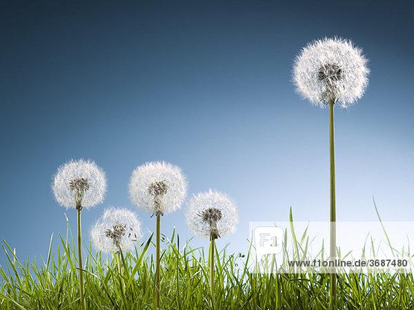 Pusteblumen im Gras