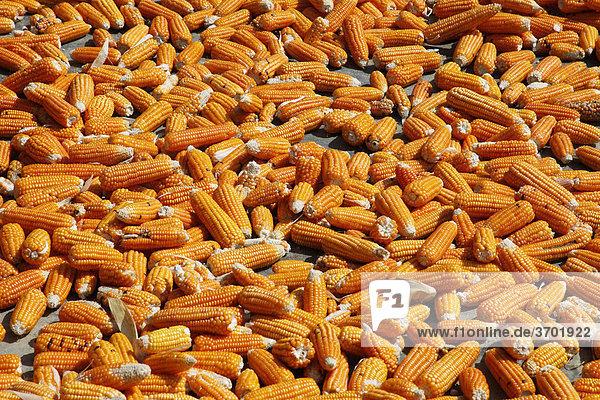 Mais ausgelegt zum Trocknen in einem kleinen vietnamesischen Dorf in der Nähe von Sa Pa  Vietnam  Südostasien