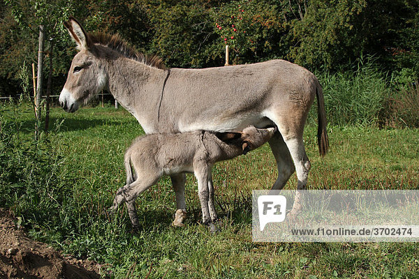 Donkey mare (Asinus) with suckling 4-day-old foal