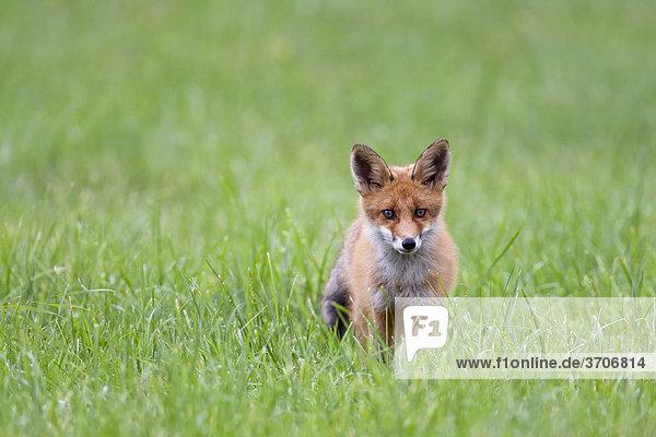 Fuchs auf einer Wiese  Sotenäs  Schweden