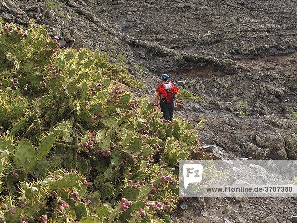 Dillenius-Feigenkaktus (Opuntia dillenii)  Monumento Natural de los Ajaches  Lanzarote  Kanaren  Kanarische Inseln  Spanien  Europa