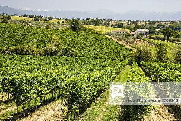 Weinberge in Umbrien  Italien  Europa