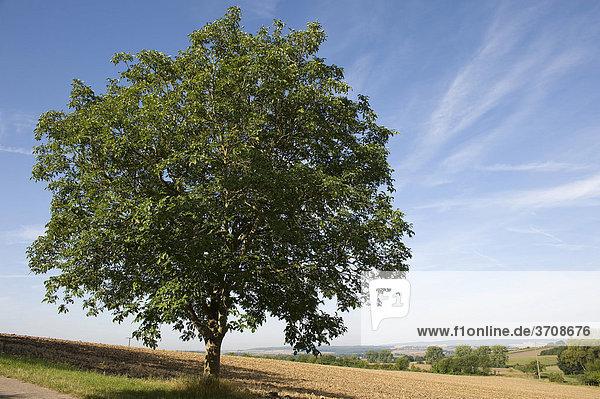 Walnussbaum (Juglans regia)