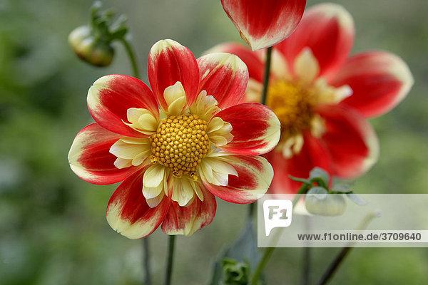 Der rote Schorsch  rot-gelbe Blumen  Dahlie (Dahlia)  Balkon-Blume des Jahres 2009