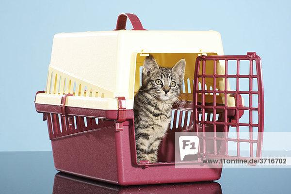 getigertes Kätzchen - sitzend in Transportbox getigertes Kätzchen - sitzend in Transportbox