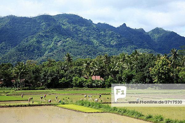 Arbeiter im Reisfeld bei Borobudur