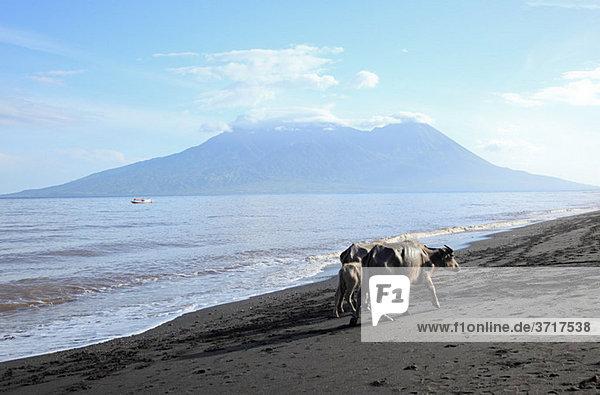 Büffel am Strand auf der Insel Sumbawa  Indonesien