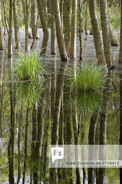 Swamp in the woods of National Park Vorpommersche Boddenlandschaft Germany