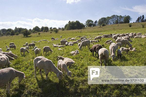 Flock of sheep - Rhön Franconia - Germany