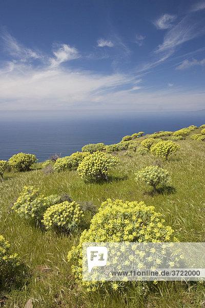 Tabaiba Wolfsmilch Euphorbia berthelotii - Las Pilas La Gomera Kanaren