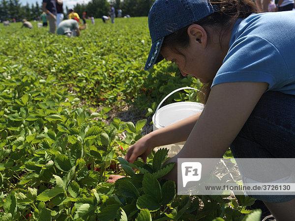 Menschen pflücken Erdbeeren auf einem Bio-Bauernhof  Markham  Ontario  Kanada