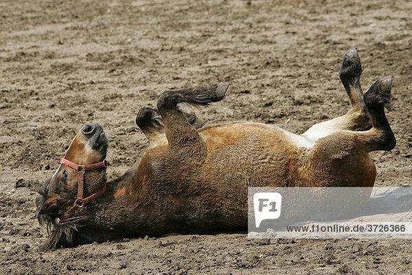 Pferd beim Wälzen und Sonnenbaden auf der Koppel