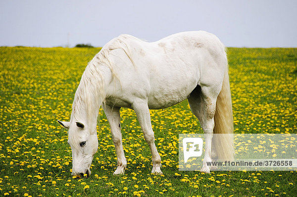 Weißes Pferd auf einer Wiese mit blühendem Löwenzahn  Sylt  Schleswig-Holstein  Deutschland  Europa