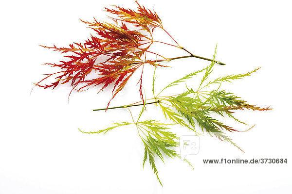 Japanischer Schlitzahorn (Acer palmatum Dissectum Viridis)