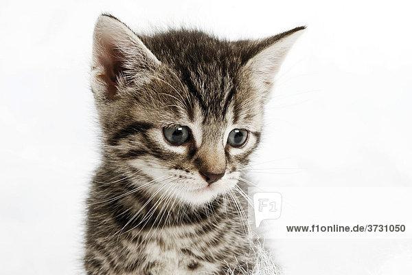 Katzenjunges  Katzenbaby  Portrait  5 Wochen