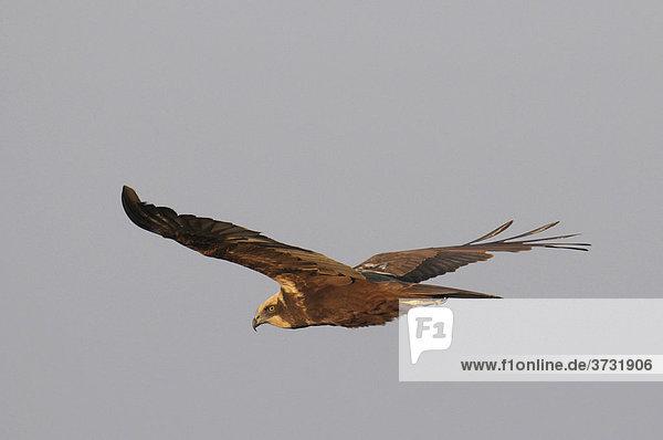 Weibliche Rohrweihe (Circus aeruginosus) im Flug