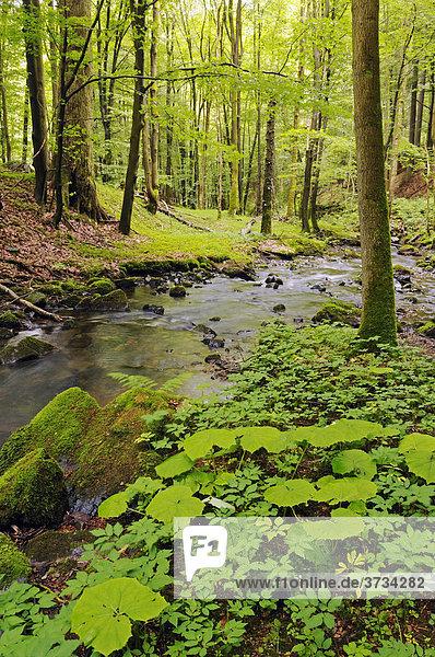 Urwald im Vessertal  Biosphärenreservat Vessertal-Thüringer Wald  Thüringen  Deutschland  Europa Urwald im Vessertal, Biosphärenreservat Vessertal-Thüringer Wald, Thüringen, Deutschland, Europa