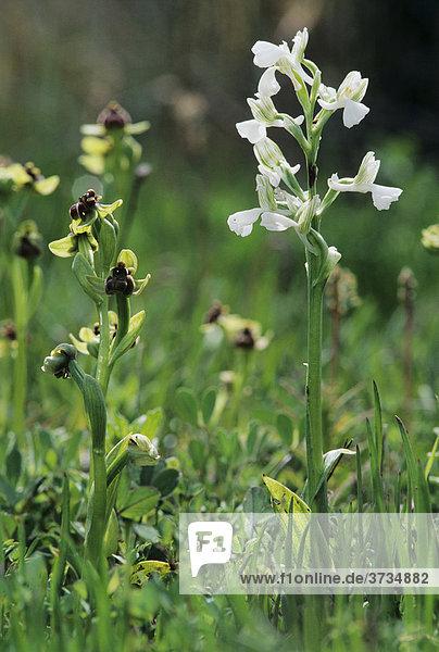 Anatolisches Knabenkraut (Orchis Anatolica)  weiß blühende Variante mit Hummelschweber-Ragwurz  Bremsen-Ragwurz oder Drohnen-Ragwurz (Ophrys bombyliflora)  Samos  griechische Insel  Griechenland  Europa