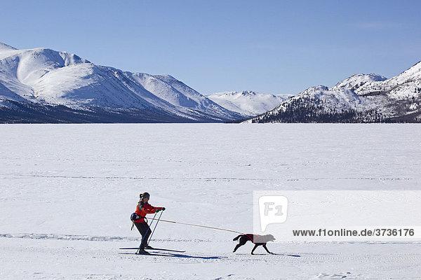Frau beim Skijöring  Skifahren mit einem Schlittenhund  Fish Lake  Yukon Territory  Kanada