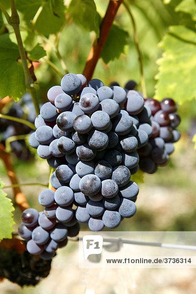 Weintrauben  Weinrebe