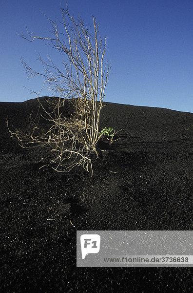 Busch  Lavasand  Lava  schwarz  Landschaft  Lanzarote  Kanarische Inseln  Spanien  Europa