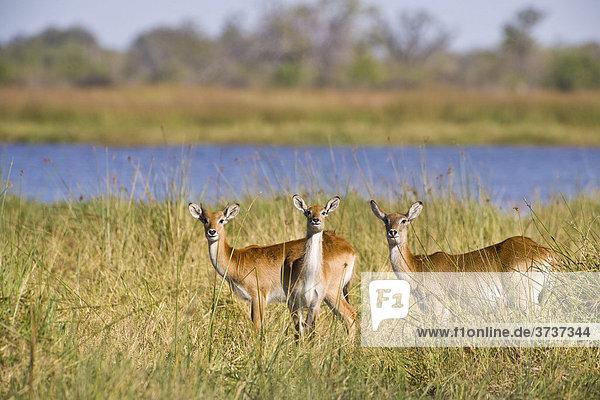 Rote Letschwe Antilope  Lechwe Antilope (Kobus leche)  Okavango Delta  Botswana  Afrika