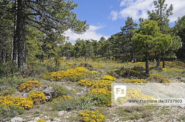 Gelb blühende Blumen  Moos  Waldboden  Kiefernwald  Cuenca  Kastilien La Mancha  Spanien  Europa