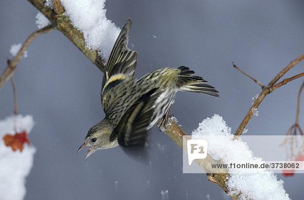 Erlenzeisig (Carduelis spinus)  Winter