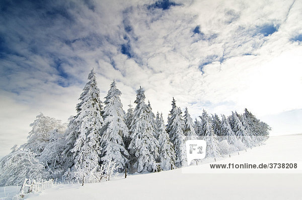 Snow-covered fir trees  clouded blue sky and sun  Black Forest  Baden-Wuerttemberg  Germany