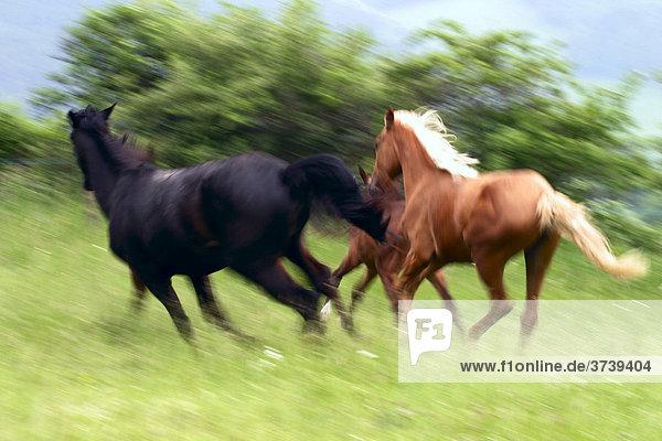 Galoppierende Pferde  Doubravy  Hradec nad Moravici  Nordmähren  Tschechien  Europa